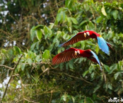Papageien im peruanischen Regenwald