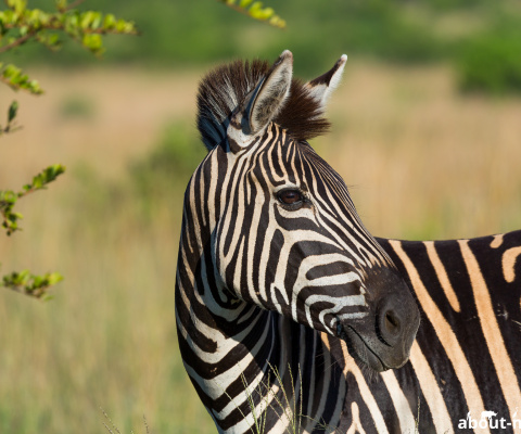 Südafrika 2017/18 – Pilanesberg Nationalpark