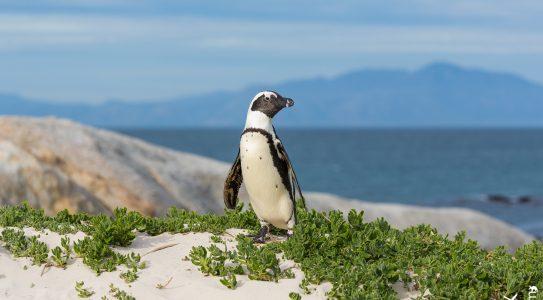 Pinguine Südafrikas